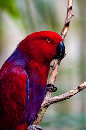eclectus parrot: Red and Blue eclectus parrot in North Carolina