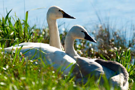 tundra swan: Tundra swans overwintering at Lake Mattamuskeet in North Carolina