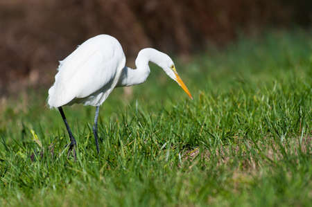 outer banks: Great Egret hunting prey at the Outer Banks of North Carolina