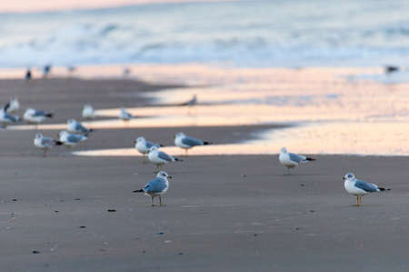 south beach: Seagulls at the beach of the Outer Banks in North Carolina Stock Photo