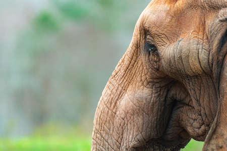 Closeup portrait of an African Elephant