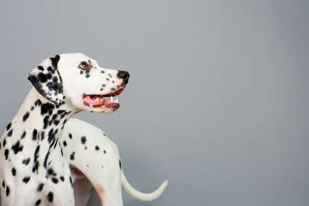 Studio photo of a young happy male Dalmatian dog 写真素材