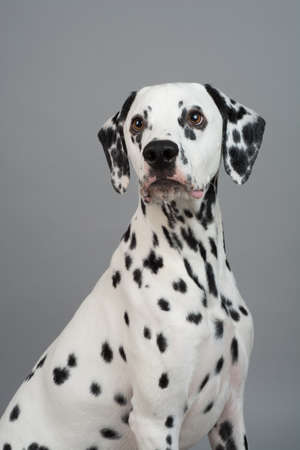black dog: Studio photo of a young happy male Dalmatian dog Stock Photo