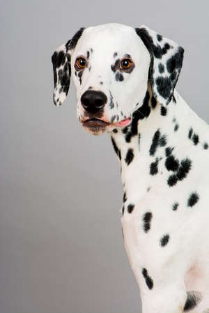 Studio photo of a young happy male Dalmatian dog Standard-Bild