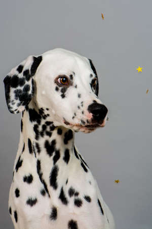 Studio photo of a young happy male Dalmatian dog Stock Photo - 59378613