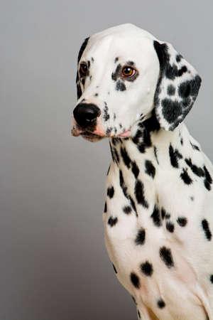 Studio photo of a young happy male Dalmatian dog Stock Photo