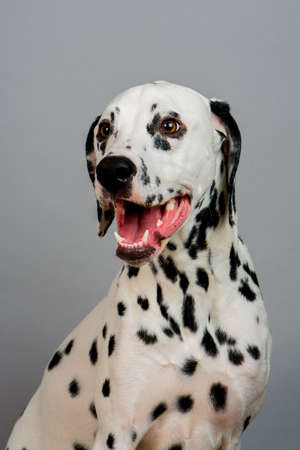 Studio photo of a young happy male Dalmatian dog Stock Photo