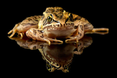 Studio photo of a Pickerel Frog, Lithobates palustris, often confused for the endangered Leopard Frog. Shot against a reflective black background. Stock Photo
