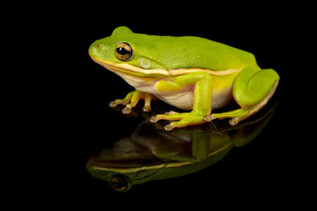 Studio photo of a Green Treefrog, Hyla cinerea, against a reflective black background.