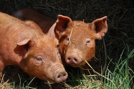This pair of Tamworth piglets are enjoying playing in the pasture in spring   Tamworth is a heritage breed of pig, distinguished by its tan coloring and long bodies  photo