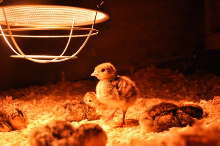 brooder: A group of freshly hatched turkey poults rests under a brooder lamp   One poult is on its feet, looking for a midnight snack   These are broad-breasted bronze poults, about 3 days old