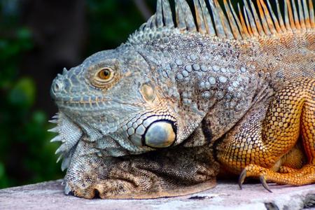Iguana in Respos