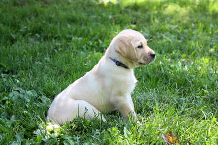 Yellow Lab Puppy 版權商用圖片 - 11644711