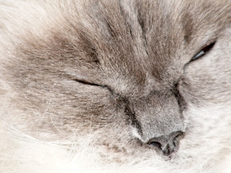 A blue pointed ragdoll cat curled up asleep