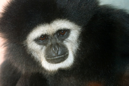 Closeup of dark skin, brown eye monkey with white hair around face and black hair over body