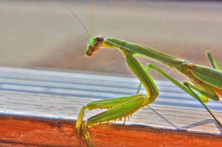 The three quarter profile of a green praying mantis 版權商用圖片