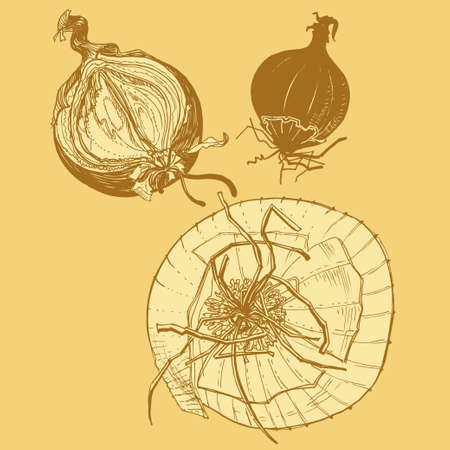 onions: Vector fresh brown onions engrave drawing. Vector illustration