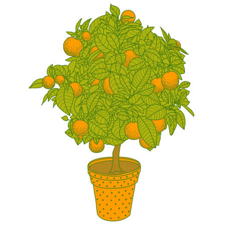citrus tree: Citrus tangerine, orange or lemon citrus tree in a pot in contour drawing style. Usage for ecology, nature, garden, plants, fruits themes Illustration