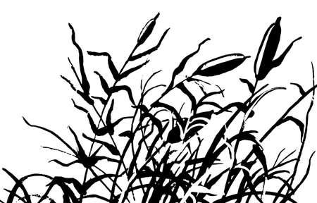 rushy: Reed vector illustration. Gravure rush vector drawing.