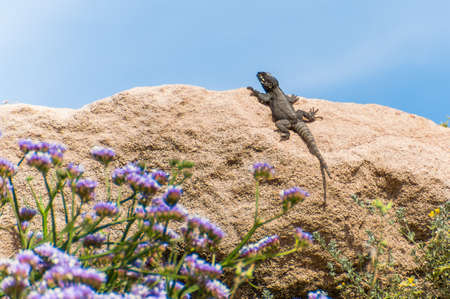 Mediterranean lizard sitting on the rock with blooming flowers on foreground