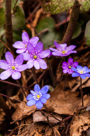 First Hepatica Snowdrop blue purple violet flowers in early spring forest