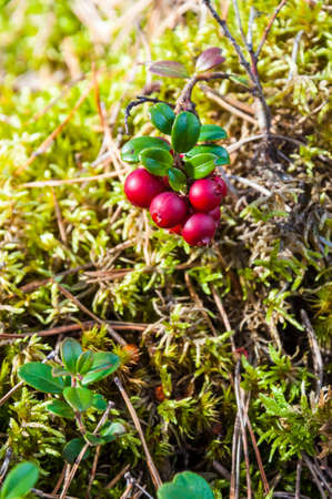 Red berries of Lingonberry or cowberry or partridgeberry branch in mossy Lithuanian forest