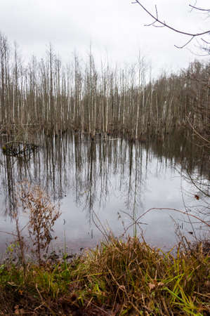 Flooded forest became dismal swamp. Lithuania