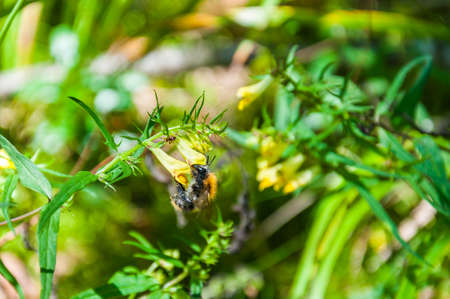 Bumblebee insect working on yellow flower Фото со стока