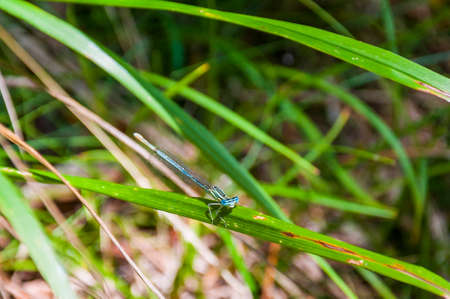 Blue dragonfly on green grass leaf. Dragonfly most often found near water and usually remain within a few miles of the place where its egg was hatched.