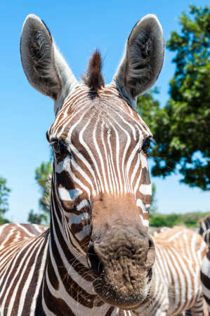 Portrait of African Zebra. African wild horse with black-and-white stripes and an erect mane