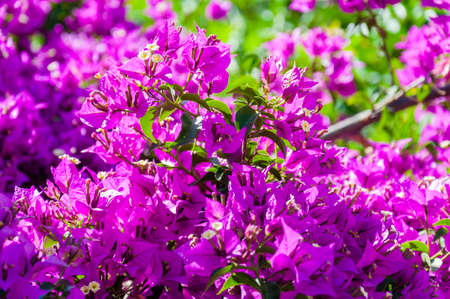Blooming Bougainvillea bush branch full of vibrant flowers