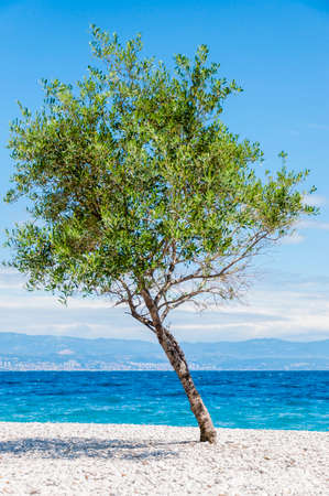 Tilted young olive tree on the pebble beach at noon