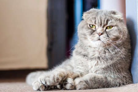 Scottish Folds are hardy cats and their disposition matches their sweet expression. They adore human companionship and display this in their own quiet way.