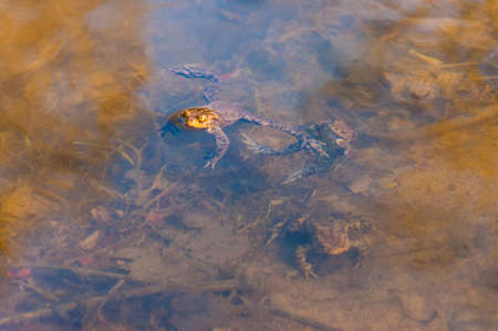 Common toads, Bufo-bufo amphibians in the water series of shots were made in Vilnius, Lithuania in early spring. Common toads vary from dark brown, grey and olive green to sandy-coloured.