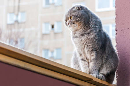 Scottish Folds are hardy cats and their disposition matches their sweet expression. They adore human companionship and display this in their own quiet way
