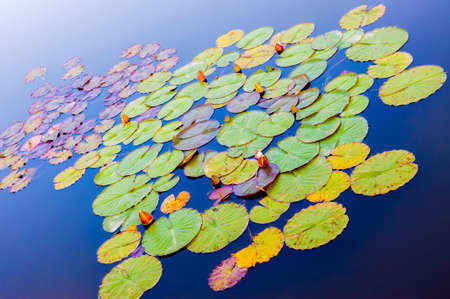 Vibrant water lilies plants in blue blue waters 스톡 콘텐츠