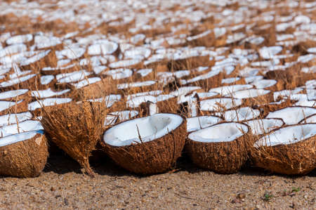 Here you can see the Indian coconut farm and their method of drying coconut halves for different purposes, like oil, flour and more. Stock fotó - 113302859
