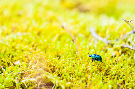 Vibrant shiny Geotrupidae earth-boring dung beetle walking on moss. Geotrupidae is a family of beetles in the order Coleoptera. They are commonly called earth-boring dung beetles.