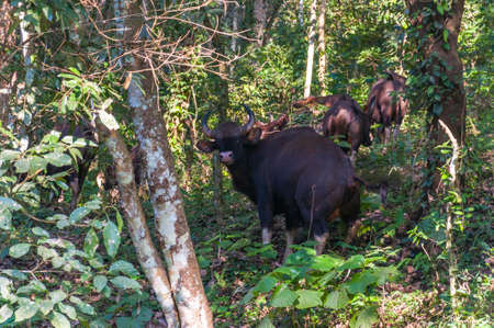 The Gaur also called Indian bison, is the largest extant bovine, native to South Asia and Southeast Asia. This amazing wildlife park is located in Kerala southern state of India.
