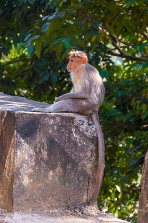 The Bonnet macaque are endemic to south India, The habitats including evergreen high forest and dry deciduous forest of the Western Ghat Mountains and some of the eastern ghat ranges as well. 写真素材