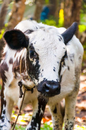 Here you can see the Indian cow calf graze in the jungles and cautiously examines a new guests of the village.