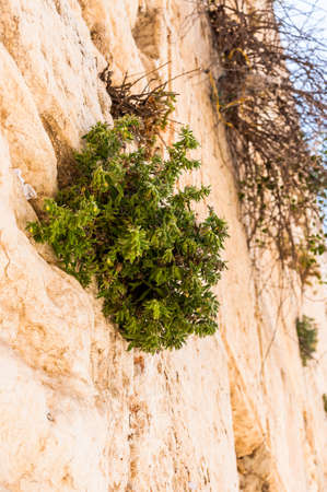 Wild plants growing straight from the ancient holy stones of the Western Wall in Jerusalem, Israel