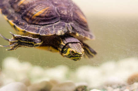 Portrait of Pond Slider Trachemys Scripta turtle swimming in aquarium