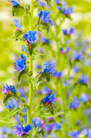 Wild blooming vibrant blue Echium vulgare flower plants in the field Stock Photo