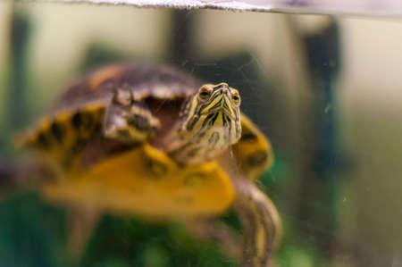 Portrait of Pond Slider Trachemys Scripta turtle swimming in aquarium