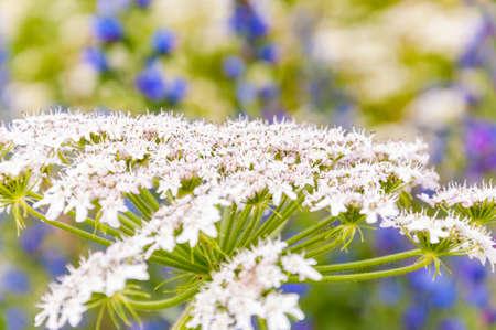 Macro shot of blooming white Pimpinella Saxifraga or burnet-saxifrage flower plant Banque d'images - 114076613