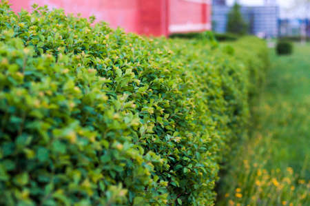 Straight line of the growing vibrant bushes shrubs fence