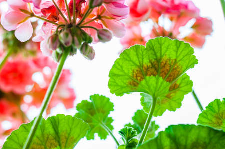 Vibrant red pink buds and multicolor green leaves of flowering blooming pelargonium geranium flower plant after the rain from bellow