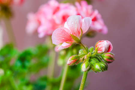 Full of raindrops vibrant red pink buds of flowering blooming pelargonium geranium flower plant after the rain Stockfoto