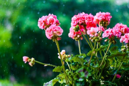 Vibrant red pink buds of flowering blooming pelargonium geranium flower plant outdoors during the rain